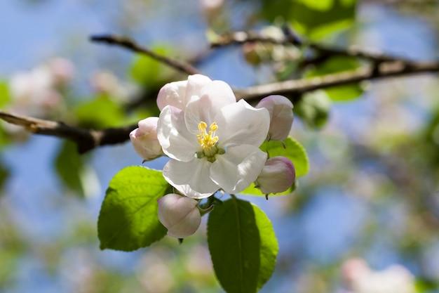 Цветущие цветы плодов яблони в саду, весна