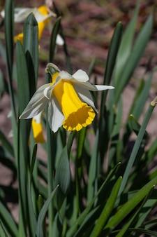 Цветущие цветы нарциссов в весеннее время макросъемки. цветущий садовый нарцисс с белыми и желтыми лепестками на фото крупным планом весеннего дня.
