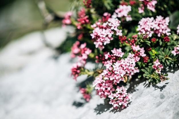 녹색 잎을 가진 상록 관목의 개화 꽃