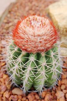 Melocactus bahiensisの咲く花は、砂漠の公園と多肉植物の庭にある小さな球状のサボテンの植物で、茶色の軽石で育っています。