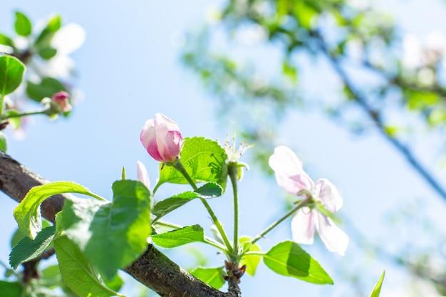 リンゴの木の枝に咲く花