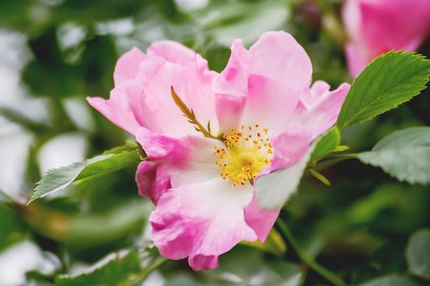 Blooming flowers of pink wild rose