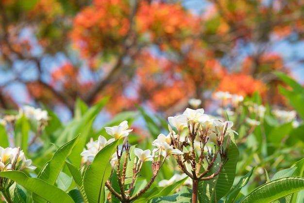 Blooming frangipani flowers