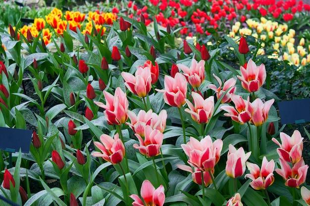 ベッドの庭に咲く新鮮な色とりどりのチューリップ