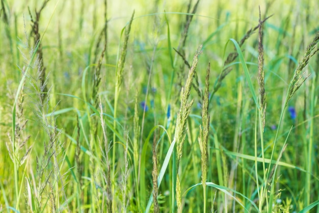 Blooming fresh raw grass with flowers
