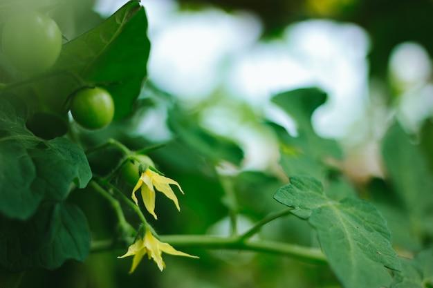 Цветущие свежие спелые зеленые помидоры на ветке растут в теплице