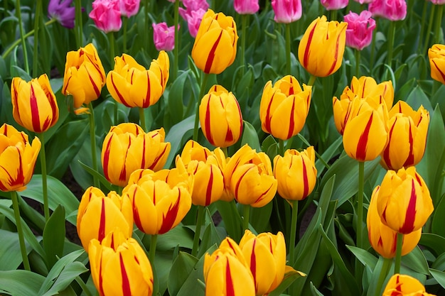 Blooming fresh yellow-red striped tulips in a garden bed