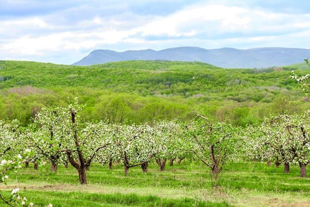 Цветущий фруктовый яблоневый сад в высокогорье