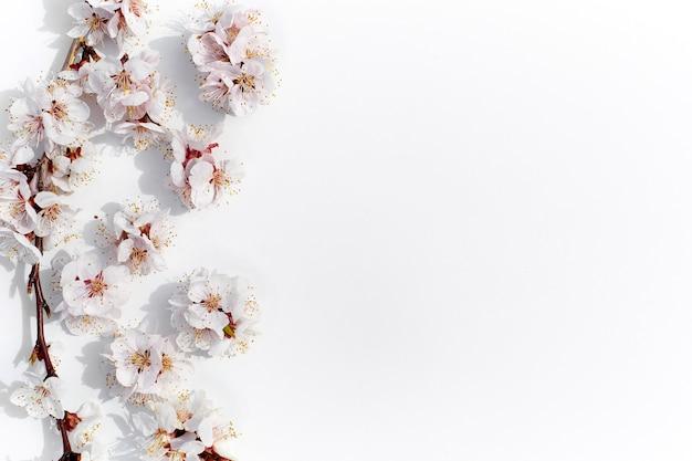피는 과일 가지 흰색 배경에 살구 꽃