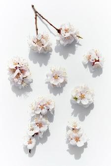 피는 과일 가지. 흰색 바탕에 살구 꽃