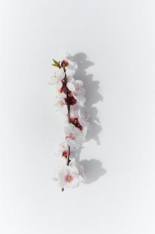 개화 과일 가지 살구 꽃