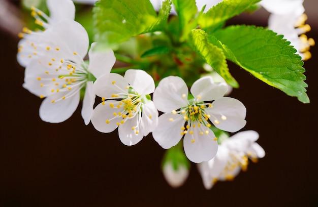 Blooming fruit tree in the garden.