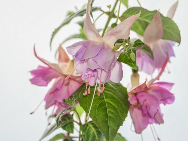 咲くフクシア、明るい背景に大きな花。ソフトフォーカス。