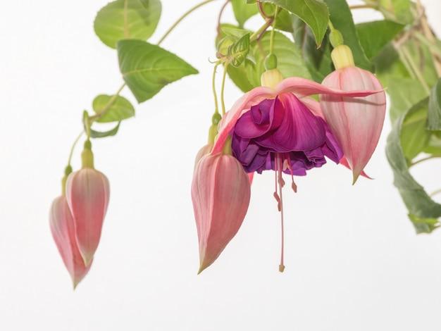 피는 자홍색, 밝은 배경에 큰 꽃