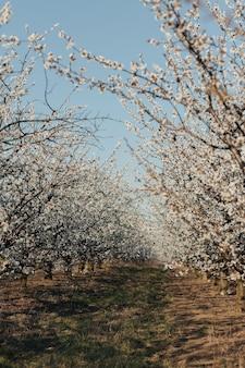 晴れた春の日に咲く庭。白い花の木の眺め。美しい春の風景。