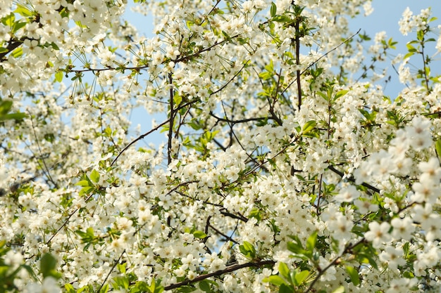 Blooming gardens in spring, blooming spring tree. sunny spring day
