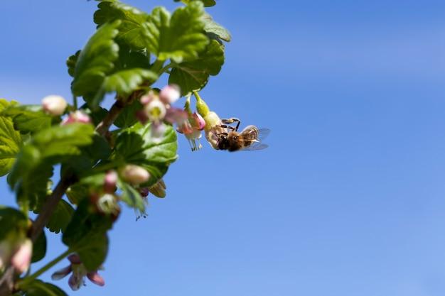 Цветущий крыжовник летом, красивые необычные цветы, кусты крыжовника в саду, фруктовый сад