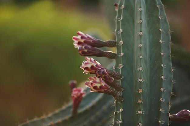 ピンクのつぼみのクローズアップと咲く緑のサボテン