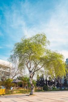 Цветущее зеленое дерево в городском парке