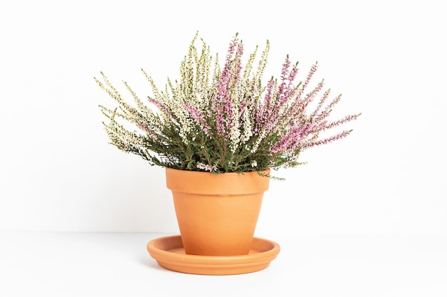 Blooming heather calluna vulgaris in flower pot over white surface