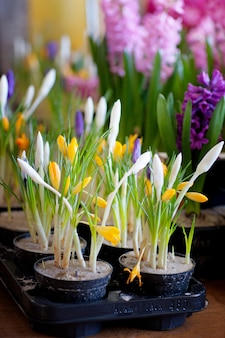 Blooming hyacinth and crocus in flower pots for transplanting. floriculture, gardening.