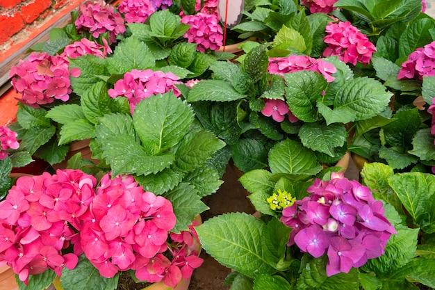 아시아의 식물 가게에서 피는 수국 꽃.