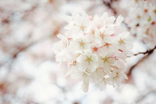 咲く日本桜の花。桜の枝、セレクティブフォーカス
