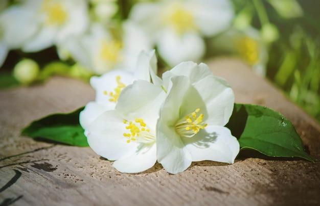 Blooming jasmine flowers. selective focus. nature flowers.