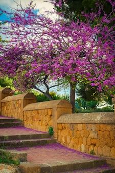 Цветущее дерево иуды с падающими цветами