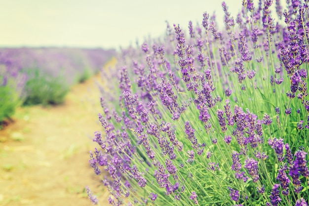 Blooming lavender field. summer flowers.