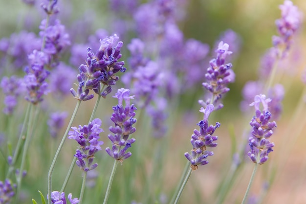Blooming lavender in a field with sunlight. summer lavender background. variative focus