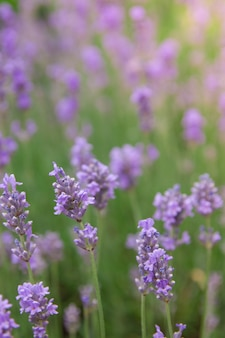 Blooming lavender in a field with sunlight. summer lavender background, vertical photo