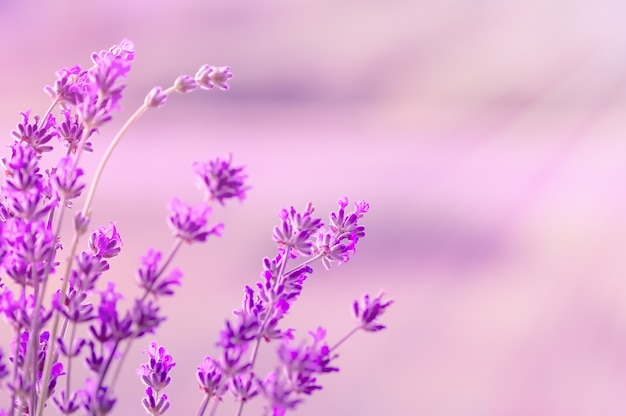 햇빛, 파스텔 색상 및 흐림 배경에서 피 라벤더. 부드러운 조명 효과.