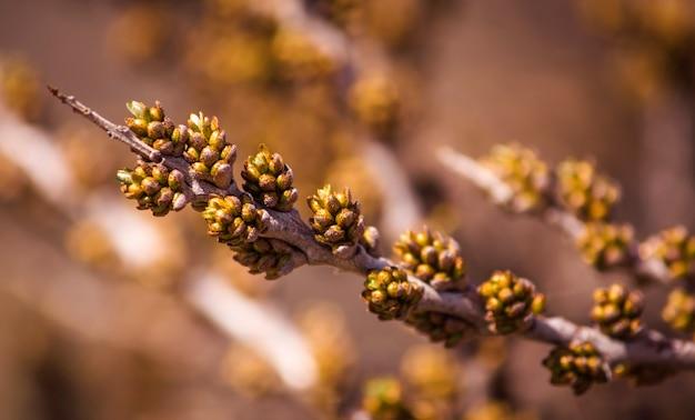 바다 갈매 나무속의 가지에 꽃 봉 오리에서 꽃을 피.