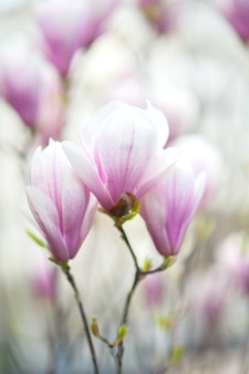 Blooming lilac buds of japanese magnolia in spring