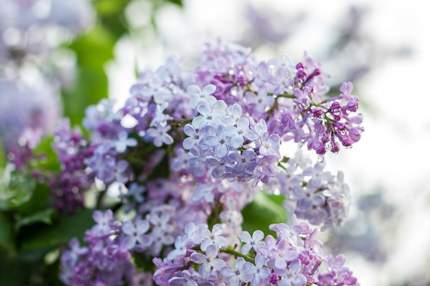 春に咲くライラック。