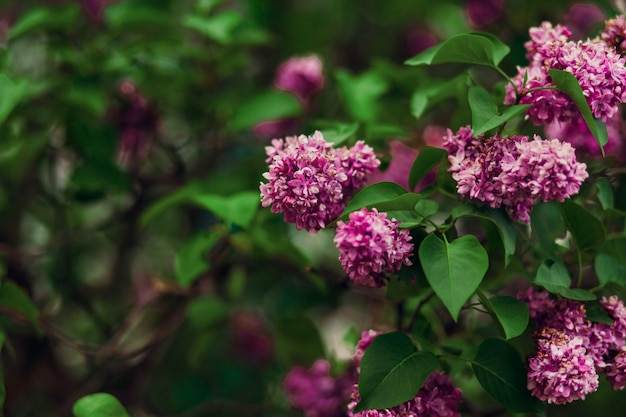 Blooming lilac pink flowers colorfull background