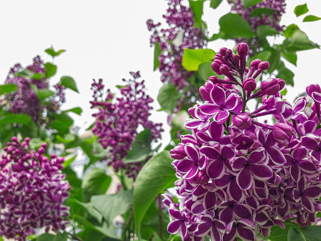 Blooming lilac spring purple lilac flowers