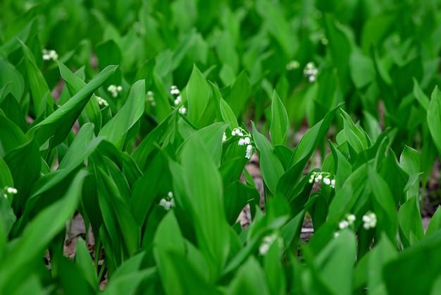 Зацветая ландыш цветет весной в лесе на поляне. цветочная текстура
