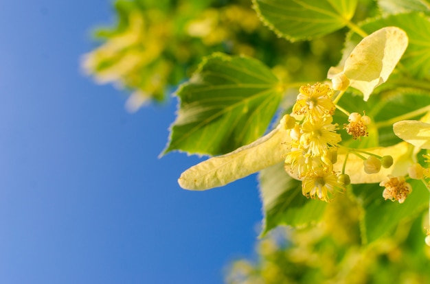 Blooming linden