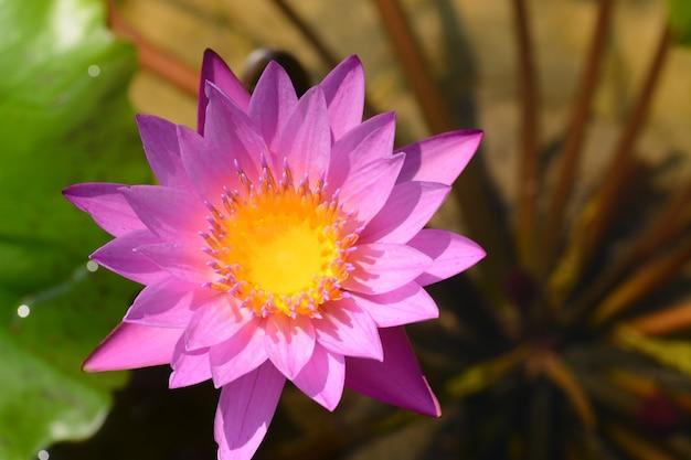 Blooming lotus flower closeup
