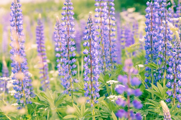 Blooming lupins flowers background