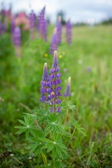개화 매크로 루팡 꽃입니다. 분홍색 보라색과 파란색 꽃이 있는 루팡 들판. lupines 여름 꽃 배경의 무리입니다. 루팡의 들판. 보라색 봄과 여름 꽃
