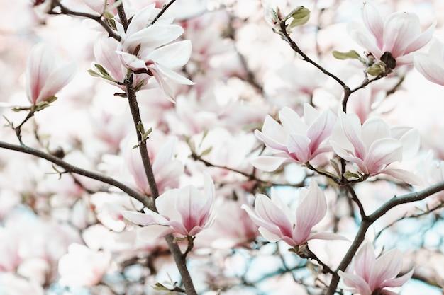 개화 목련 나무 가지 봄 시간 개념