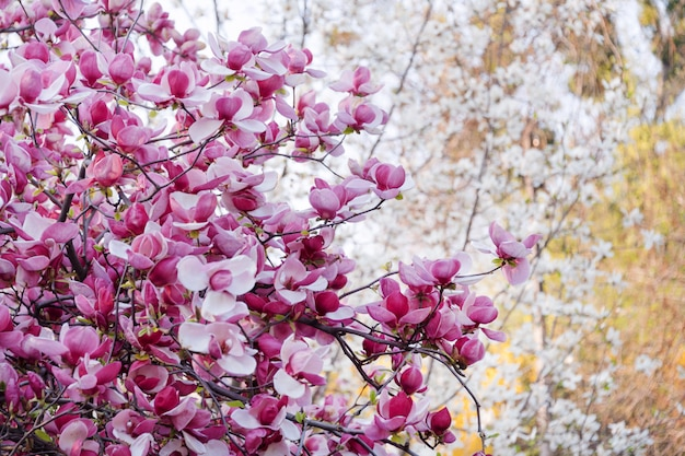 Цветущее дерево магнолии. розовые магнолии в весенний день.