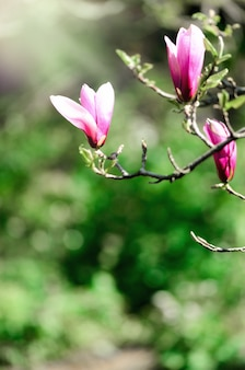 Blooming magnolia tree in the spring sun rays. selective focus. copy space