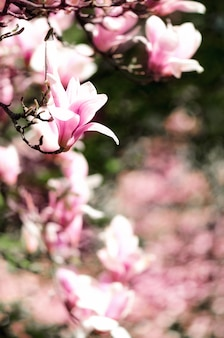 Blooming magnolia tree in the spring sun rays. selective focus. copy space.