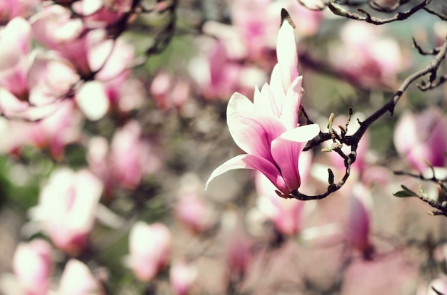 Blooming magnolia tree in the spring sun rays.