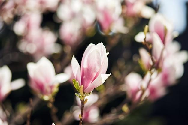 식물원에서 큰 분홍색 꽃과 피 목련 나무.