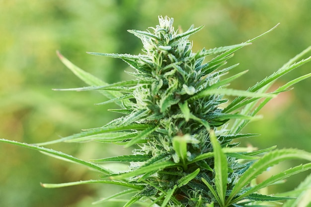 Blooming marijuana plant with early white flowers, cannabis sativa leaves, marihuana